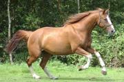 Paard Rapshody