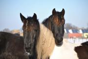 Paarden Indira en Romeo