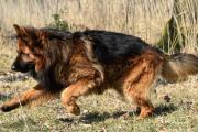 Rennende herdershond Raoul