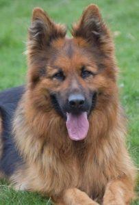 Duitse herdershond Do Vansantvliethoeve
