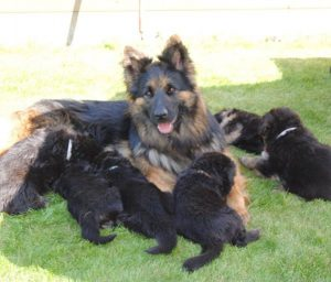 Planning oudduitse herder pups