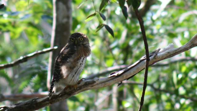 Eine Eule sitzt auf einem Baum im Naturschutzgebiet der Zapata Halbinsel.
