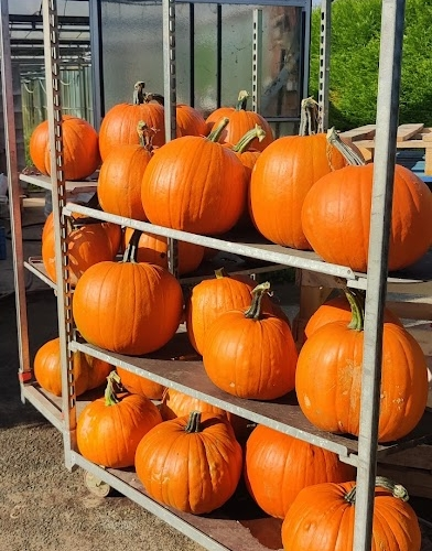halloween pompoen kopen