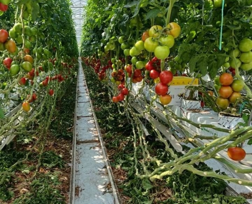 samenwerking_tomaat