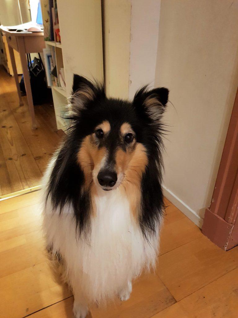 Veterinärens hund, Tess, en trefärgad collie som i september fick sin korsbandsoperation.