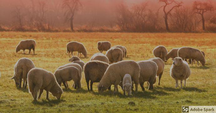 En flock får betar i en hage. Det är lite höstlika färger i bakgrunden.