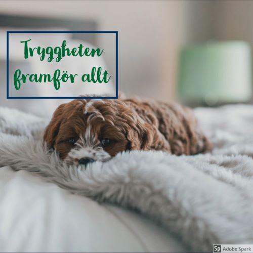 En liten brun och vit hund ligger behagligt på en mjuk fluffig ljusgrå filt. Framkörning är vad du betalar för att Vetmobilen kommer till dig.