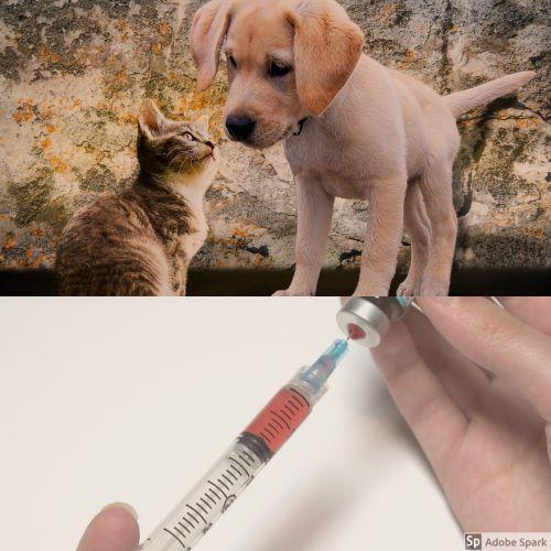 Kattunge och hundvalp luktar på varandra i den övre halvan av bilden. I nedre delen av bilden är två händer som drar upp vaccin i en spruta. Vaccinera din katt mot kattpest.