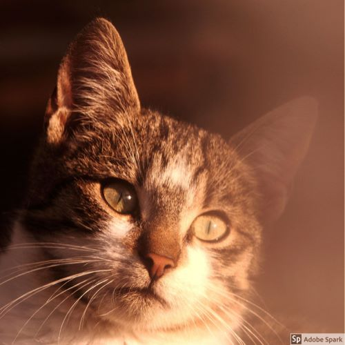 En katt som är gråspräcklig och vid på kinderna och halsen tittar lite snett till höger förbi fotografen. Kattpest kan drabba både inne- och utekatter. Vaccination vart tredje år ger ett bra skydd.