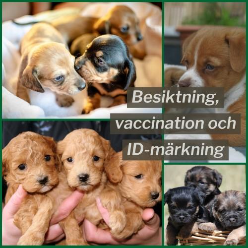 """Fyra olika kullar av valpar på en bild, där texten """"Besiktning, vaccination och ID-märkning"""" står över."""