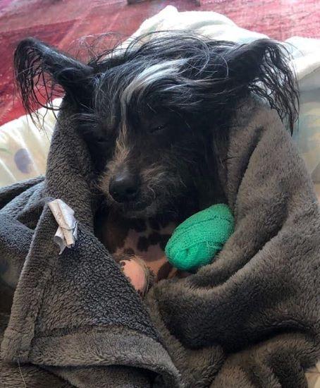 En grå och vit kinesisk nakenhund ligger insvept i en grå handduk. Den har ett grönt tassbandage om vänster framtass där ett klobrott är nyligen åtgärdat.
