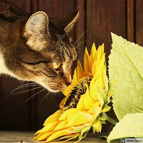 Spräcklig och vit katt som luktar på en solros. Kom ihåg att vaccinera din katt under Vetmobilens sommarkampanj.