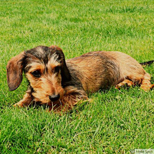 Strävhårig tax som ligger i grönt gräs. Vaccinera din hund under Vetmobilens sommarkampanj.