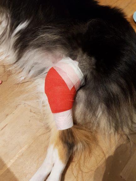 Ett rött bandage på Tess bakben för att skydda såret från komplikationer.