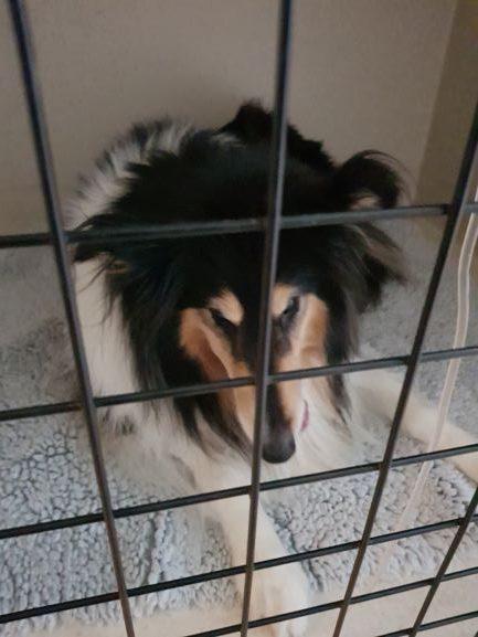 Tess, trefärgad collie, i en uppvakningsbur på kliniken. Hon har nyss vaknat upp efter korsbandsoperationen.