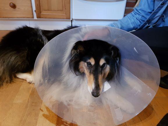Tess i köket med krage på för att hindra henne från att slicka på operationssåret från hennes korsbandsoperation. Ledsen collie.