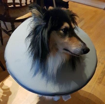 Trefärgad collie Tess med en grå tygkrage runt halsen, som också ska hindra komplikationer i ett operationssår.