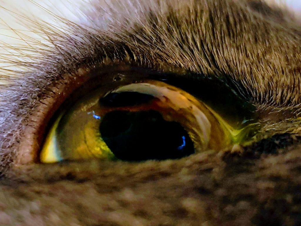 Den mörka fläcken på kattens öga sitter i hornhinnans yttersta del. Det är en skadad del av hornhinnan, en corneasekvester som kroppen försöker stöta bort. Genom gott samarbete kunde katten remitteras för vidare utredning.
