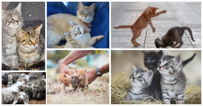 Ett kollage med många kattungar. Förskottsboka ditt hembesök för besiktning av kattungarna.