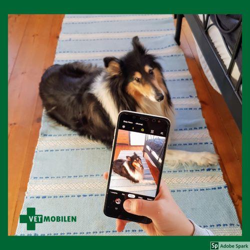 En collie i bakgrunden som även syns i skärmen till mobiltelefonen i förgrunden. Du får fästingrecept vid digital konsultation genom ett videobesök i mobilen.