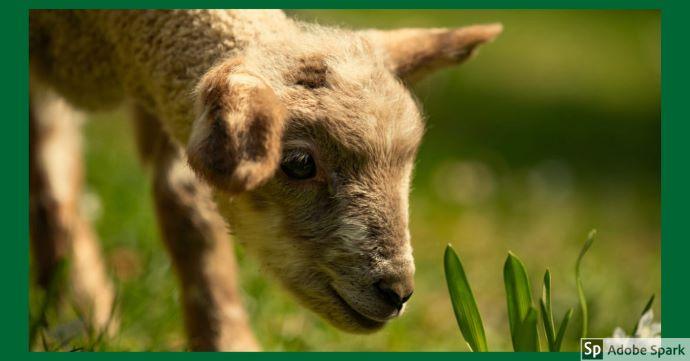 Ett lamm eller ett kid nosar mot gräset. Bilden symboliserar våra tjänster avseende får och get.