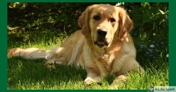 En golden retriever hund ligger på gräset och tittar in i kameran.