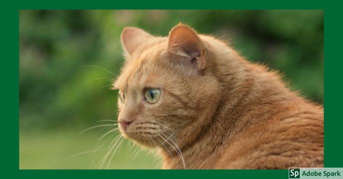 En röd katt sitter på en äng. Den kikar sig lite över axeln och man kan se dess gula ögon. Det är grönt gräs och buskar i bakgrunden.