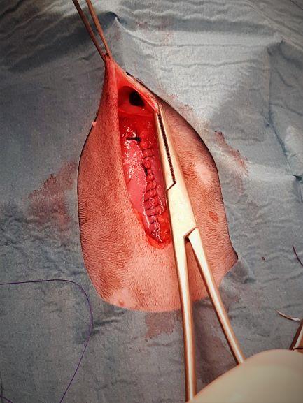 Operationssåret vid navelbråck. Snittet i bukväggen efter kastrationen är sytt, men bråckporten syns som ett hål längst upp i bild. Hålet går från under huden och in i bukhålan.