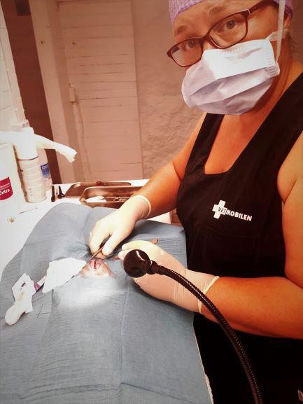 Veterinär Agneta har operationsmössa och -munskydd vid operationen för navelbråck hos katten Vilda.