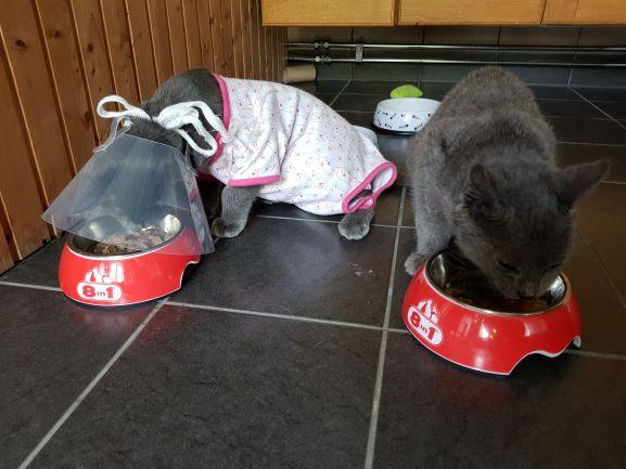 Nyopererad Vilda katt äter mat med kragen på. Hon har också en body eftersom hon var frusen efter operationen.