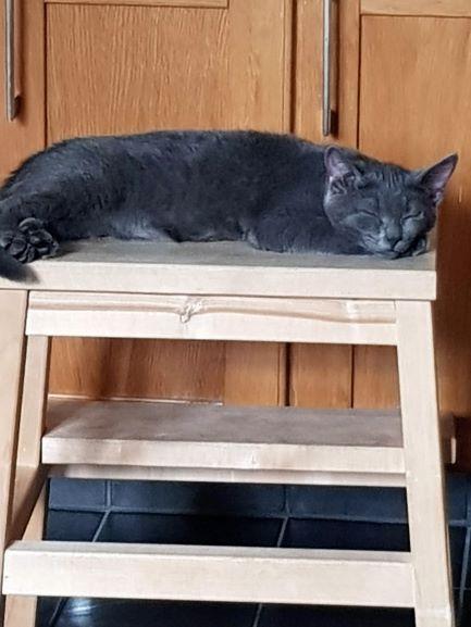 En blåsilvertigréfärgad katt som sover på en pall. Hon har ett navelbråck som vi ska operera.