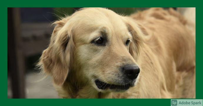 En golden retriever snett framifrån. Den symboliserar tjänster för hund.