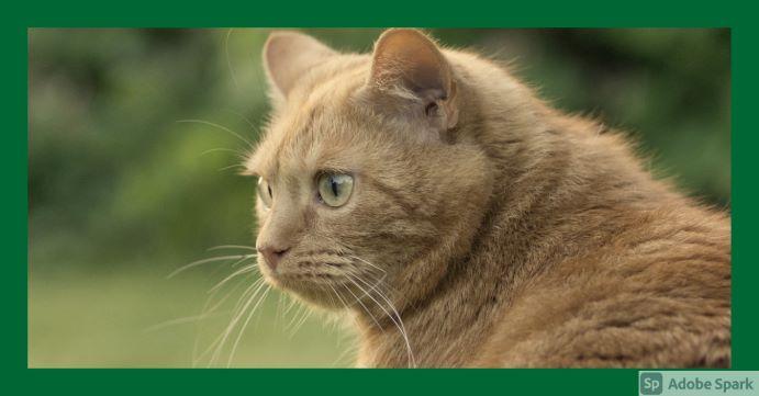 Röd katt i profil, som ser sig över vänster axel. Bilden symboliserar tjänster för katt.
