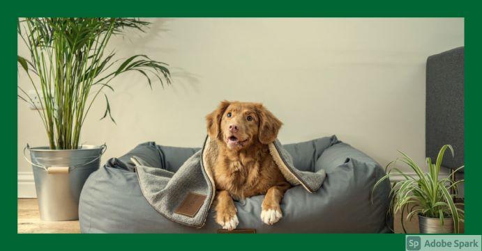 En Nova Scotia Duck Tolling Retriver (tollare) kikar fram från en filt. Symbol för tidsbokning hund.