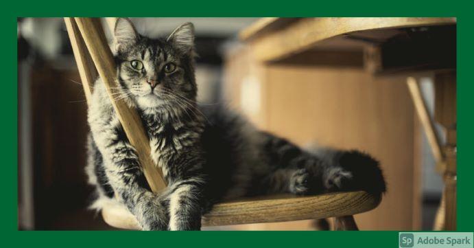 Långhårig katt ligger på en stol och tittar in i kameran. Symboliserar tidsbokning katt.