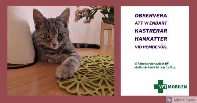 """Bild på en grå katt. Texten """"Observera att vi enbart kastrerar hankatter vid hembesök."""" Kastrering av hankatt. Kastration av katt."""
