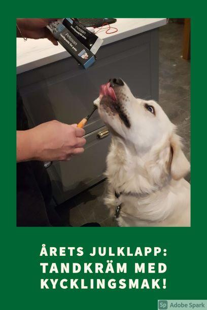 Golden retriver som tycker om sin tandkräm, årets julklapp från Vetmobilen.