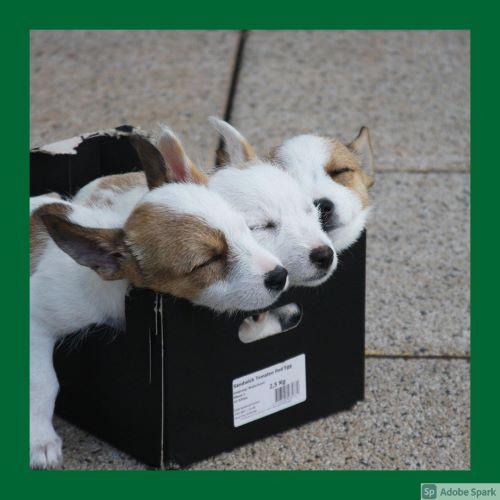 Tre små valpar som sover i en svart låda. Den ska symbolisera besiktning av valpar av veterinär Älmhult.
