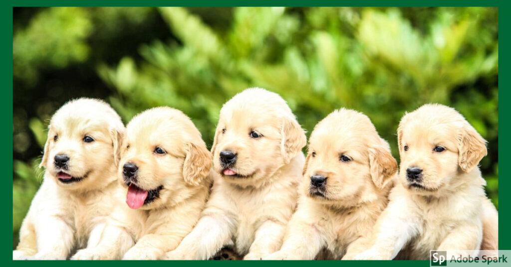 Fem stycken goldenvalpar mot en grön bakgrund. Förskottsboka din besiktning av valpkullen redan nu.