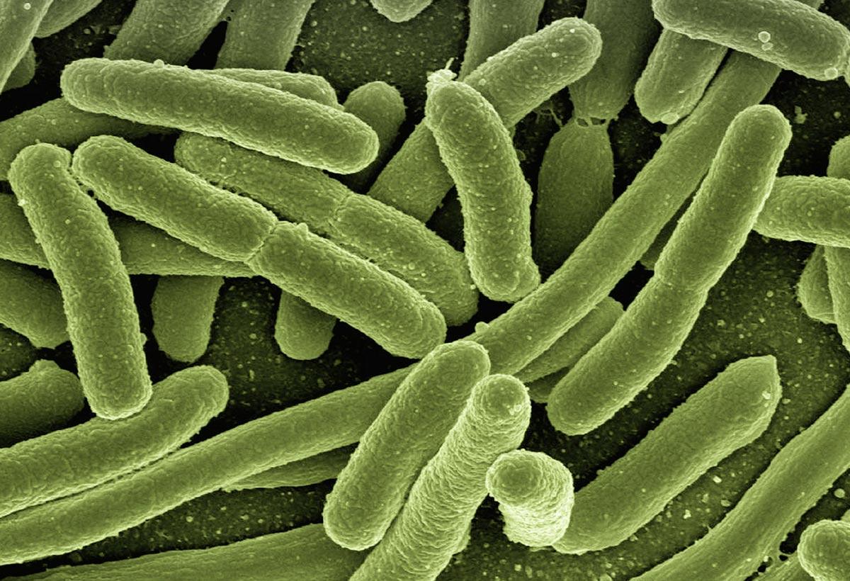 Koli bakterier