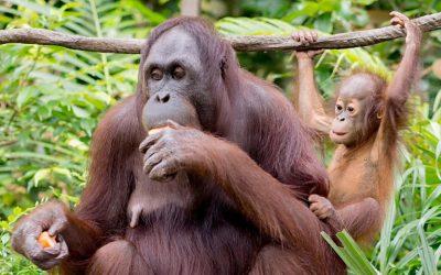 Primaternes stamtræ