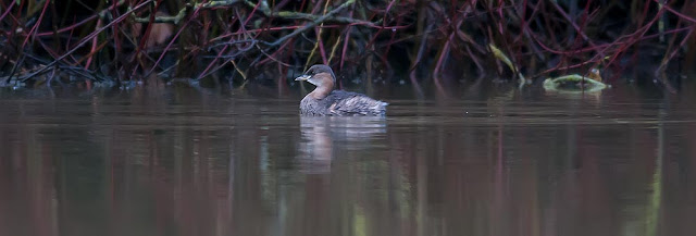 The best laid plans - Little Grebe
