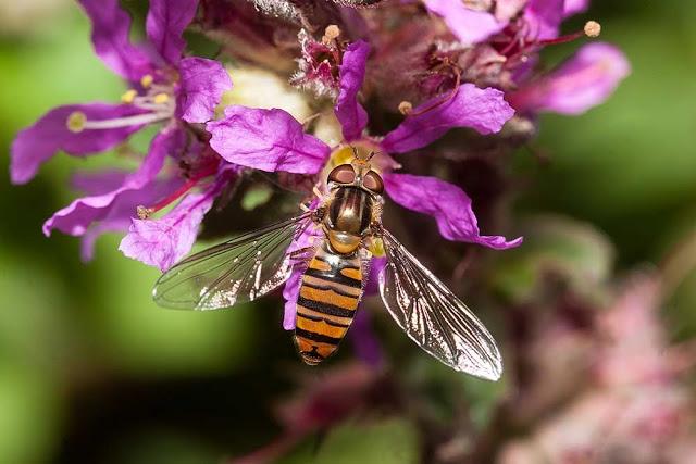 Marmalade Fly (Episyrphus Balteatus)