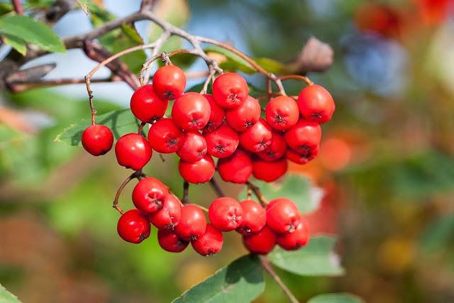 Rowan Berries in the sunshine