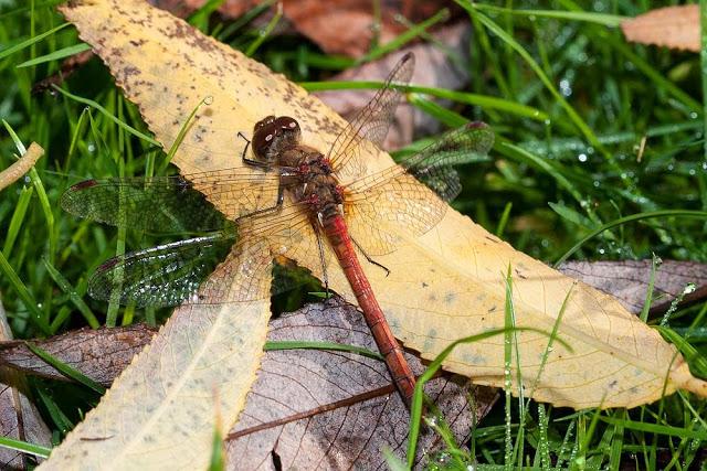 Common Darter on leaf litter