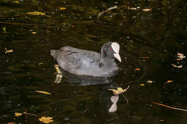 Common Coot (taken with flash as in a really dark pool).