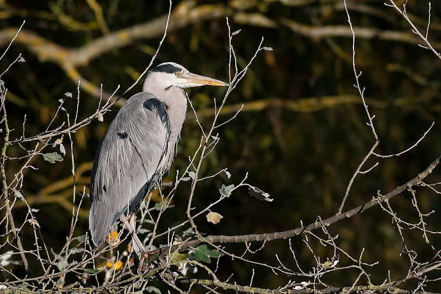 Grey Heron in tree