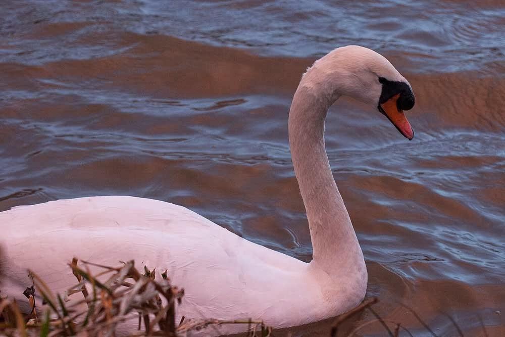 Mute swan light by setting sun - A Quick Walk at Dusk