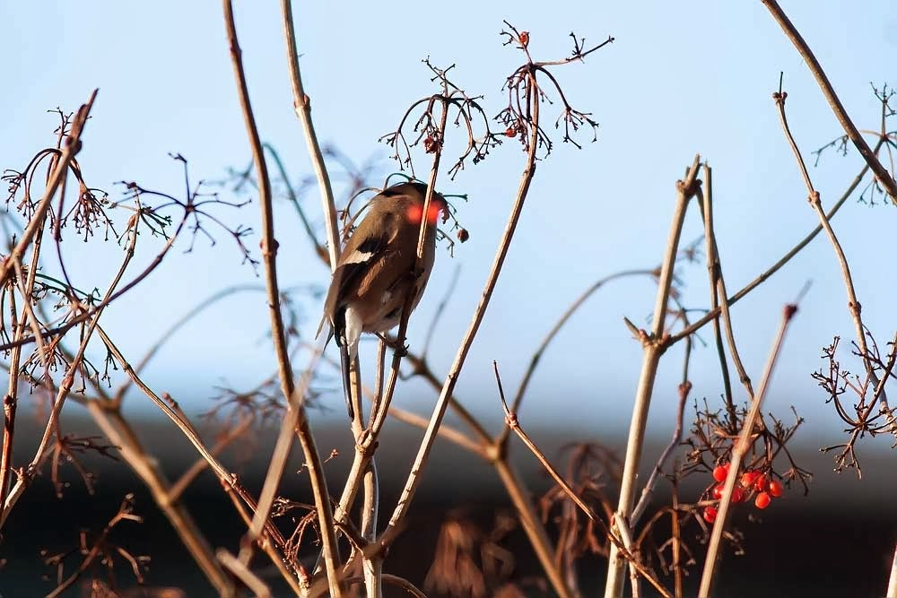 Bullfinch (female) not one of my best photos