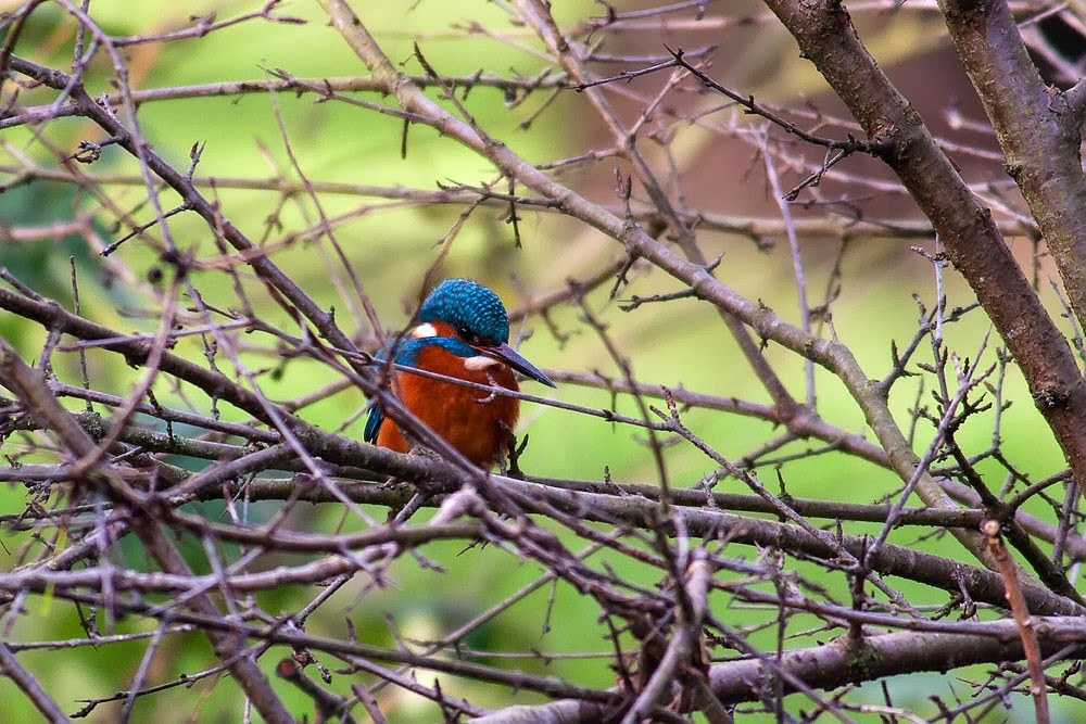 Common Kingfisher - slightly hidden in branches